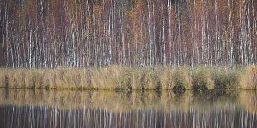 Thin Birches on the Shore