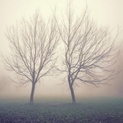 Twin Treesin Fog