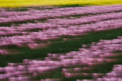 Tulip Abstract IX