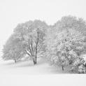 Snow Trees Study 1