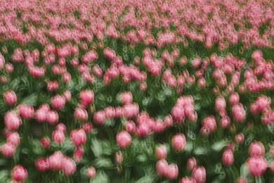 Tulip Abstract I