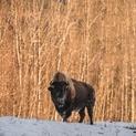 Bison in the Northern Rockies