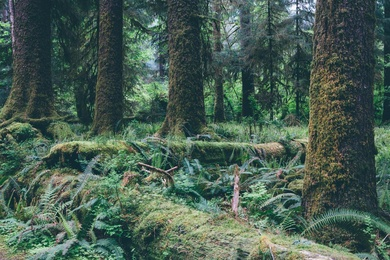 Hoh Rain Forest V