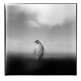 Chinstrap Penguin I