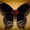 Papilio Deiphobus (Underside)