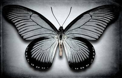 Papilio Zalmoxis No. 3