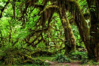Hoh Rainforest - I