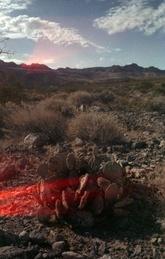 Mojave Cactus