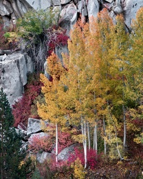 Aspen Trees in Fall - Bishop Canyon