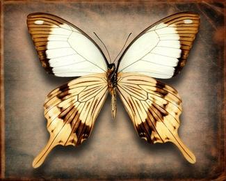 Papilio Dardanus (Underside)