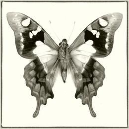 Graphium Wiskei Arfakensis
