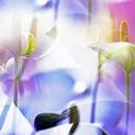 ARACEAE FLOWER 7