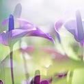 ARACEAE FLOWER 5