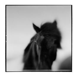 Icelandic Horse I