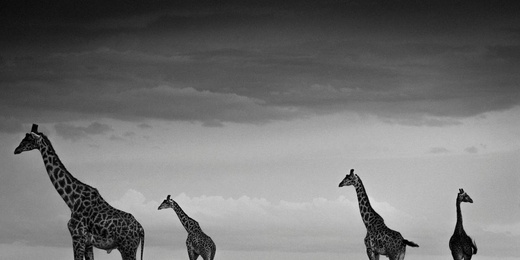 Four Giraffes in the Sky, Kenya