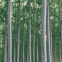 Tree Farm XVI