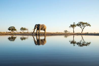 African Elephant at Savuti Marsh