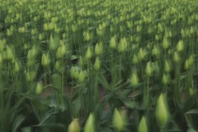 Tulip Abstract III