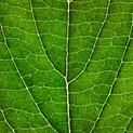 Leaf Lines VII