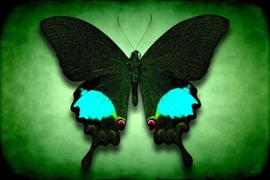Papilio Paris No. 2
