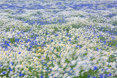 Mayweed & Corn Flowers 5