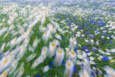 Mayweed & Corn Flowers 3
