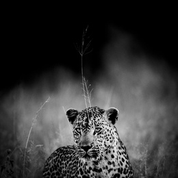 Leopard in the Grass, South Africa