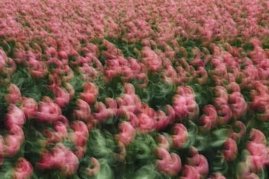 Tulip Abstract II