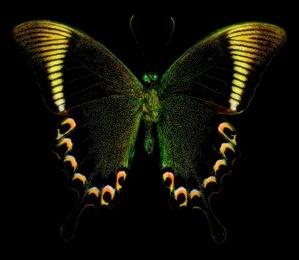 Papilio Paris No. 3