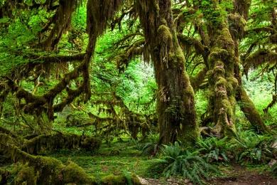 Hoh Rainforest - II