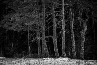 Bog Pines