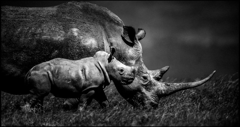 Baby Rhino With Mother