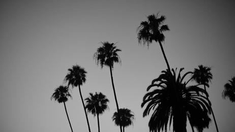 Palm Trees - Laguna Beach