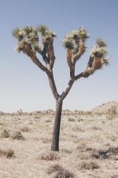 Joshua Tree Study II