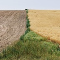 Summer Wheat #13
