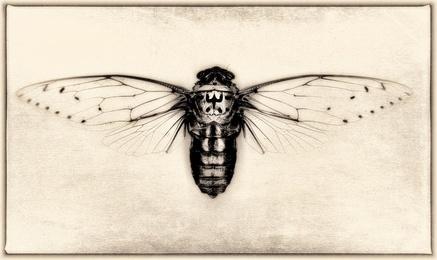 Pomponia Imperatoria (Cicada)